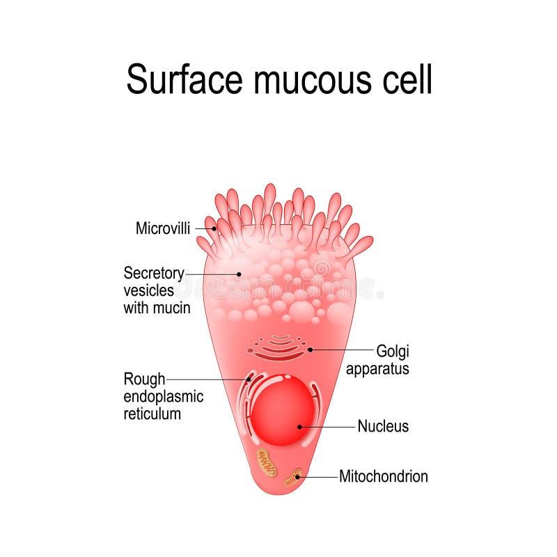Célula mucosa superficial ilustración del vector