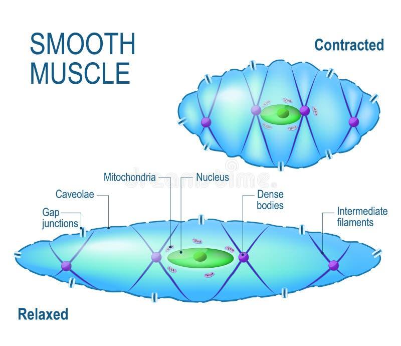 Célula muscular lisa ilustración del vector. Ilustración de motor ...