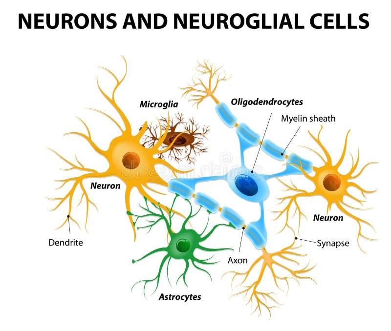 Células de Glial en el cerebro stock de ilustración