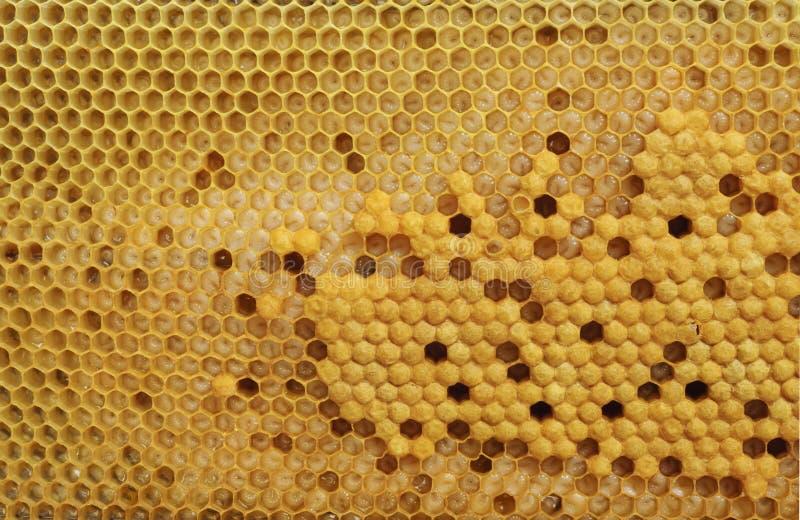 Células de la cría de la abeja de la miel foto de archivo libre de regalías