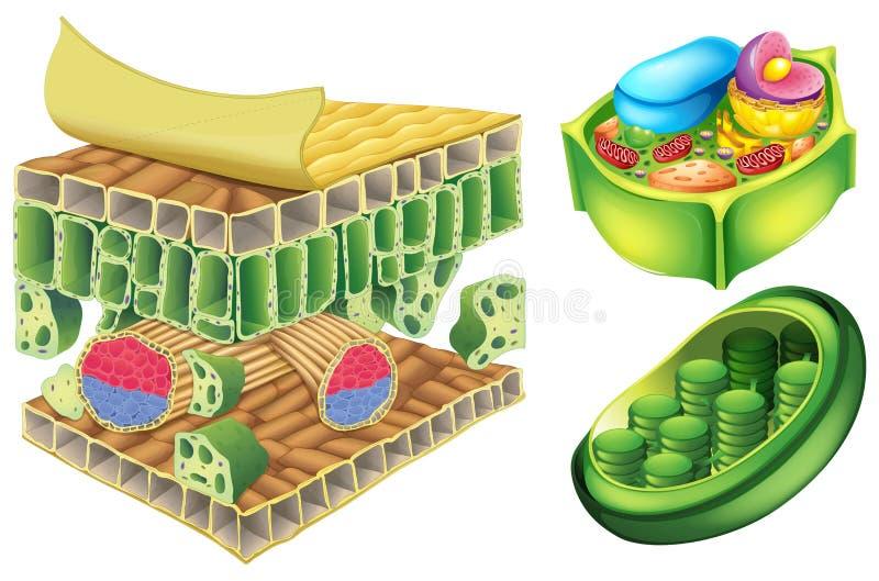 Células de la planta ilustración del vector