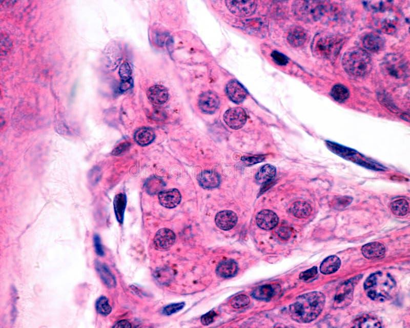 Células de Leydig Testículo humano fotos de archivo libres de regalías