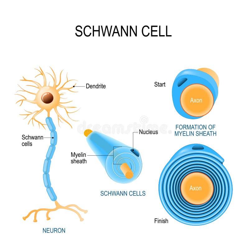Células de Schwann Estructura de neurolemmocytes stock de ilustración
