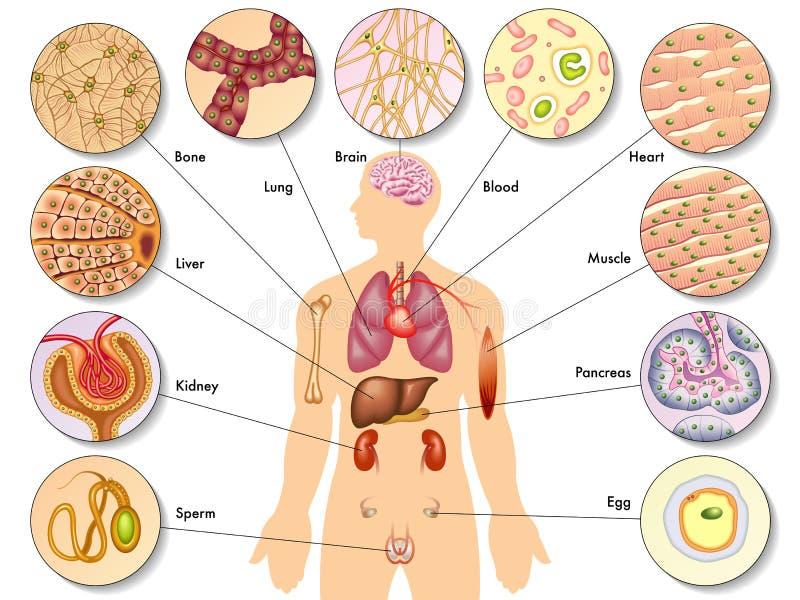 Células del cuerpo humano ilustración del vector