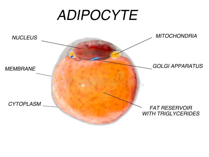 Células gordas del tejido adiposo adipocytes organismo humano interior aislante stock de ilustración