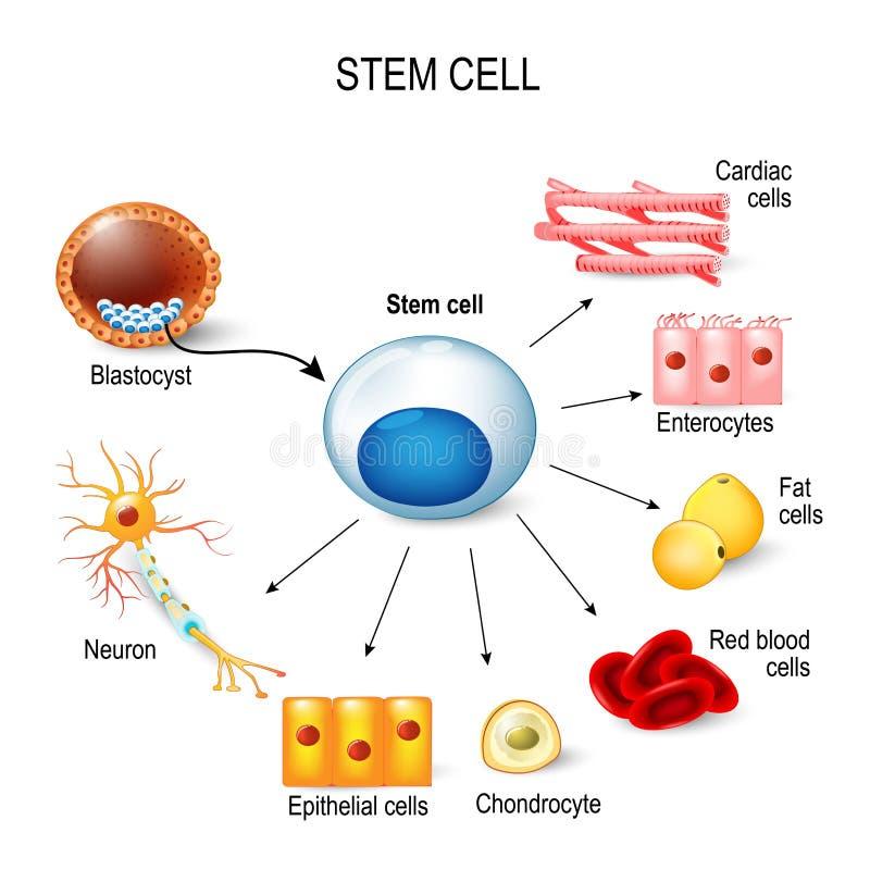 Células madres ilustración del vector