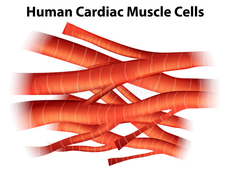 Células Musculares Cardiacas Humanas Stock de ilustración ...