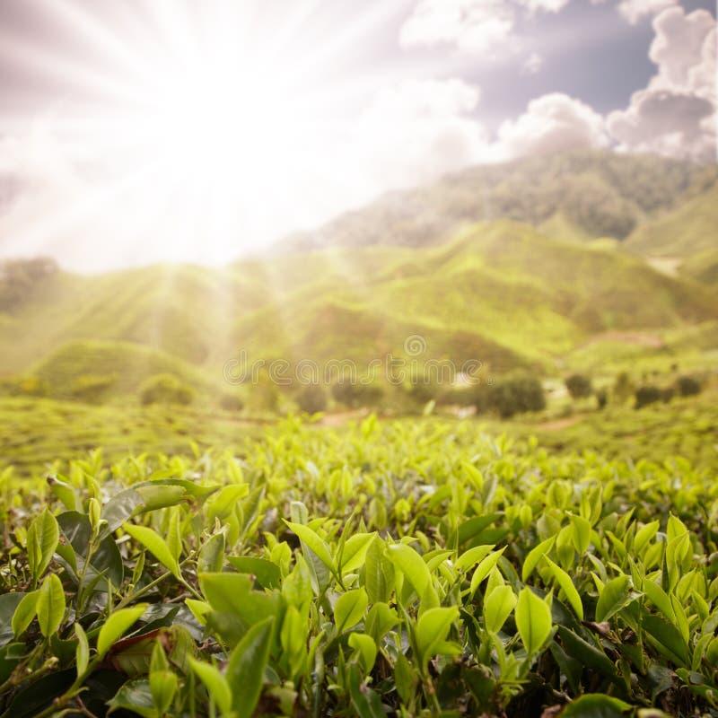 Cénico da exploração agrícola do chá imagem de stock royalty free