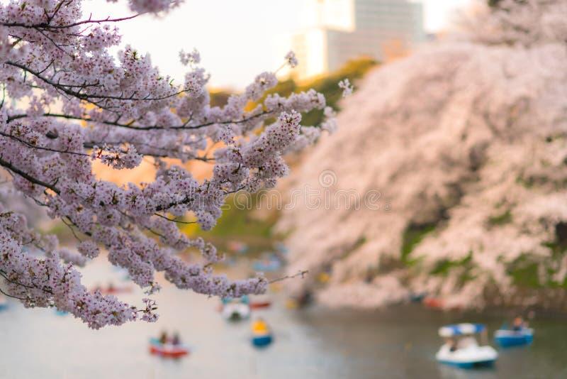 Céntrese en canotaje de la gente del primero plano y goce en la cereza de Sakura imágenes de archivo libres de regalías