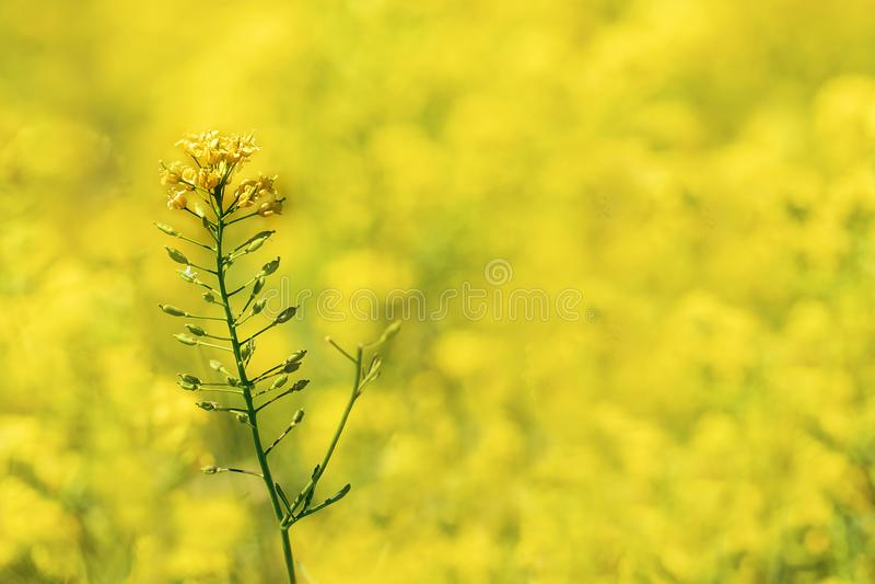 Céntrese en una sola flor de la rabina en un campo por completo de la cosecha amarilla de la primavera imagen de archivo libre de regalías