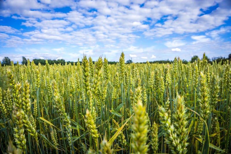 Céréales dirigeant le ciel photos stock