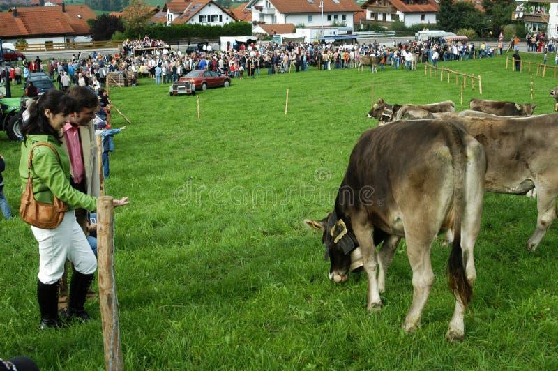 Cérémonial entraînant une réduction des bétail par la montagne photos libres de droits