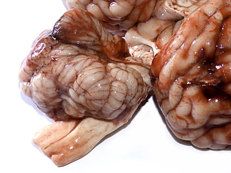Cérebro imagem de stock