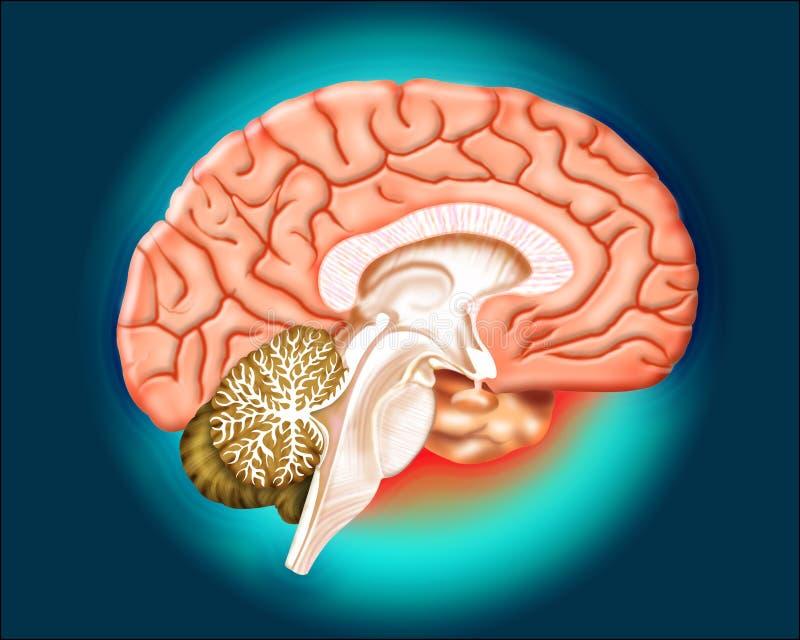Cérebro ilustração royalty free