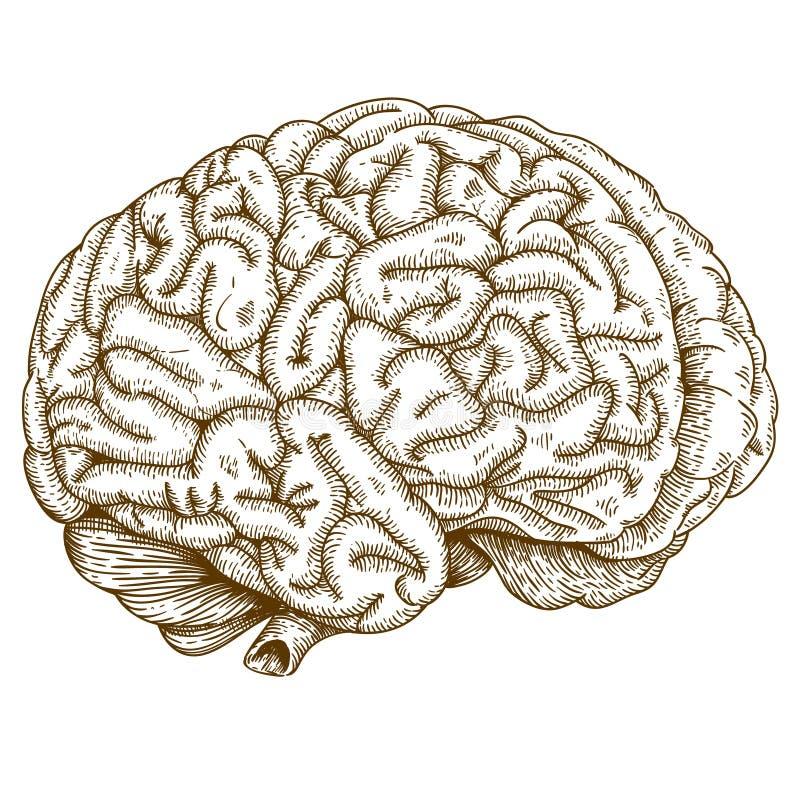 Cérebro antigo da ilustração da gravura ilustração royalty free