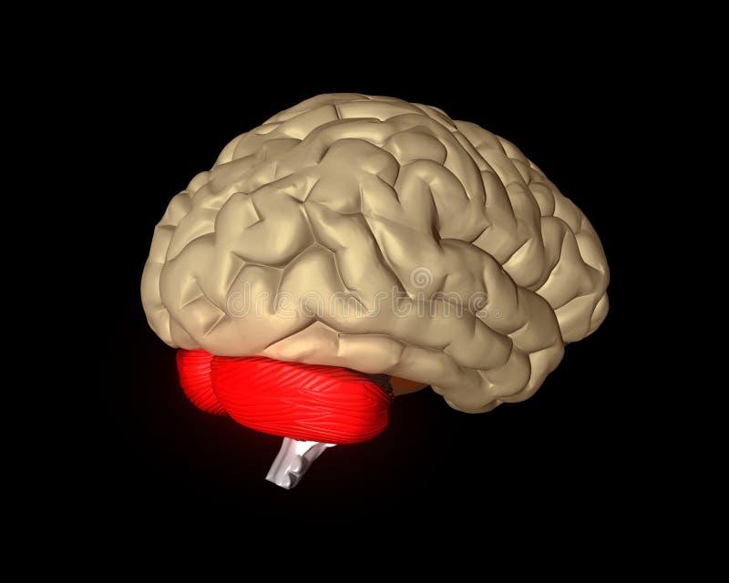 Cérebro cerebral ilustração royalty free