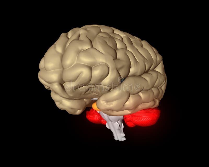 Cérebro cerebral ilustração do vetor