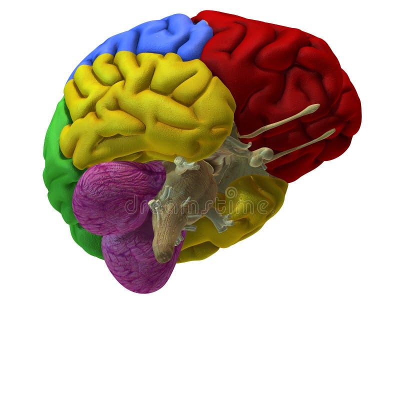 Cérebro colorido ilustração do vetor