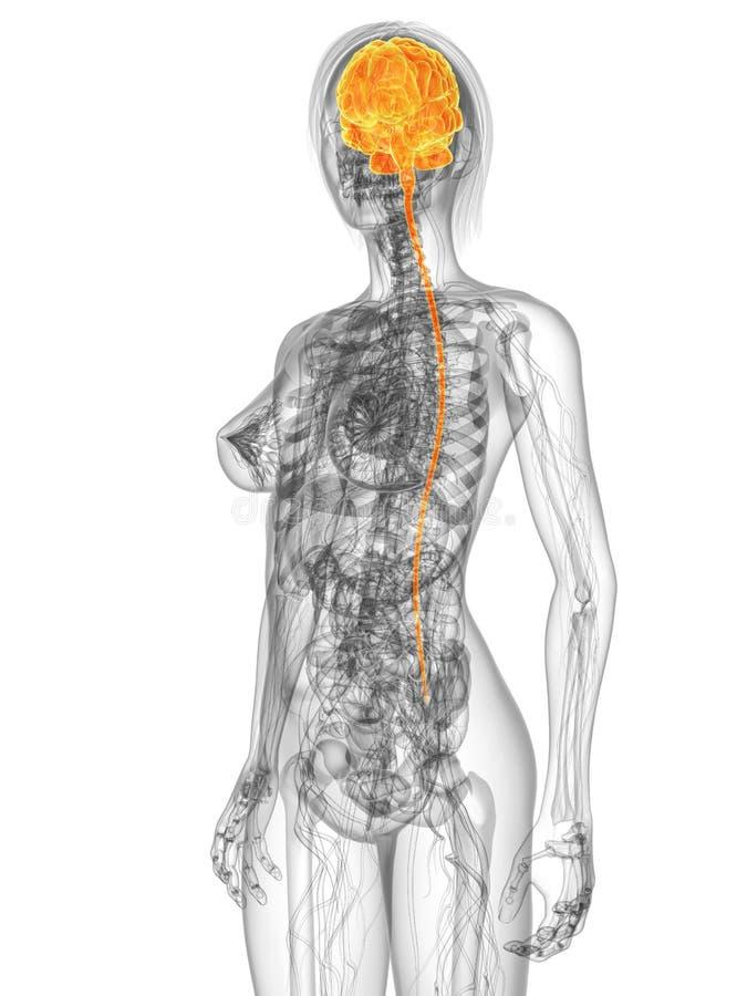 Cérebro destacado ilustração do vetor