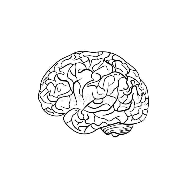 Cérebro do esboço do vetor, linha arte gráfica, linhas de contorno pretas ilustração stock