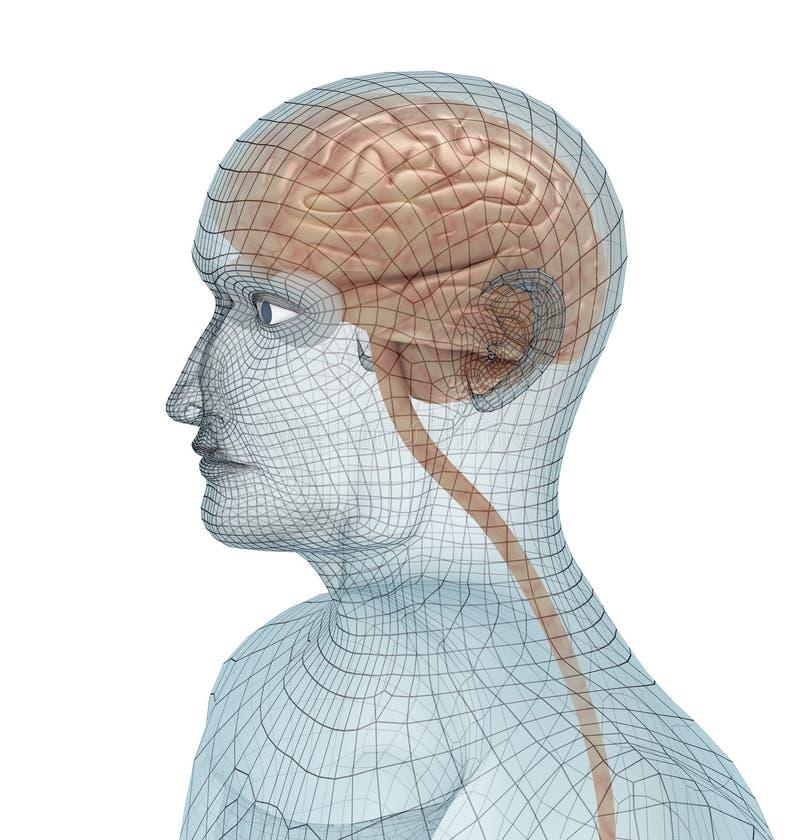 Cérebro humano e corpo ilustração stock