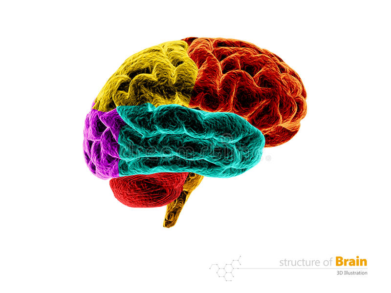 Cérebro humano, estrutura da anatomia Ilustração da anatomia 3d do cérebro humano Branco isolado ilustração royalty free
