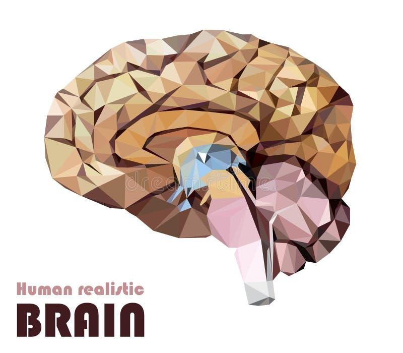 Cérebro humano realístico em baixo poli Cérebro dissecado colorido BR ilustração do vetor