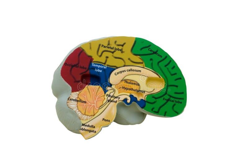 Cérebro modelo fotografia de stock royalty free