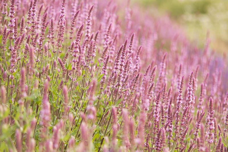 Césped brillante hermoso con sabio de florecimiento foto de archivo