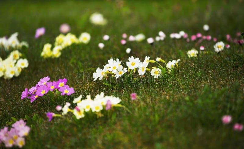 Césped de la primavera con muchos pensamiento y margarita florecientes fotografía de archivo libre de regalías