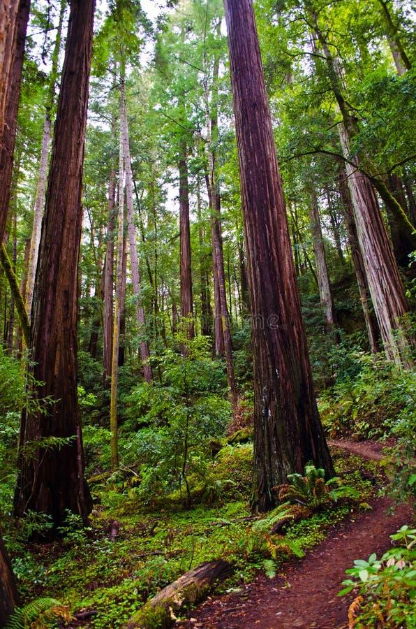 Céu às sequoias vermelhas grandes da bacia da fuga do mar fotografia de stock royalty free