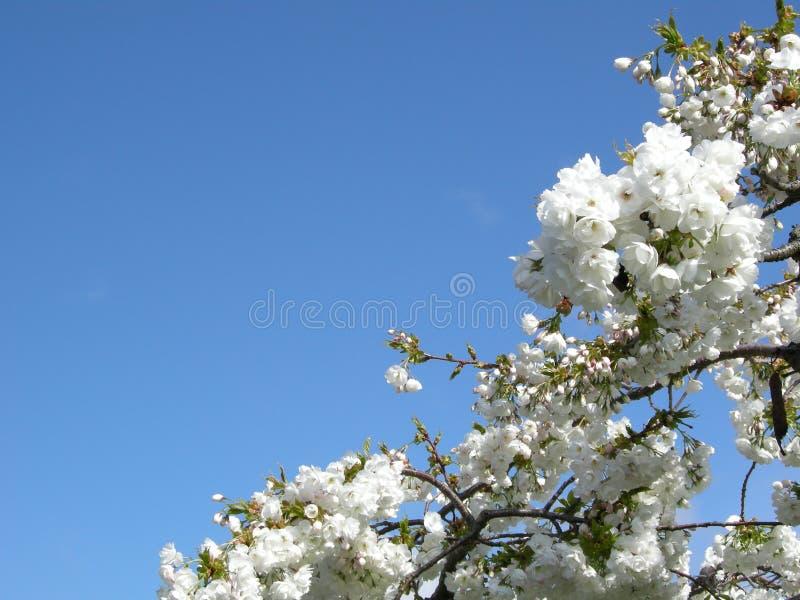 Céu azul acima das flores brancas da mola imagem de stock