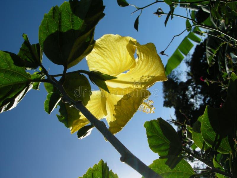 Céu azul amarelo do ¡ s do mà do hibiscus imagens de stock royalty free