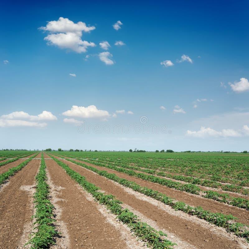 Céu azul com as nuvens sobre o campo verde agrícola com tomates fotos de stock royalty free