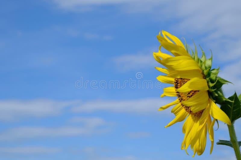 Céu azul com flor do sol imagem de stock
