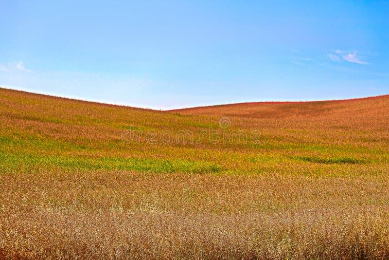 Céu azul contra montes do ouro e do canola de amadurecimento verde fotos de stock