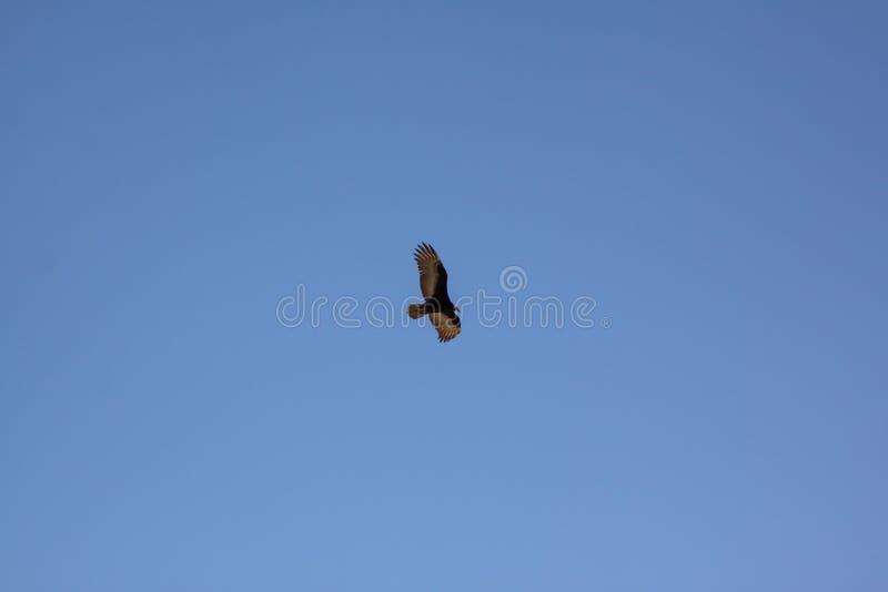 Céu azul da ave de rapina fotos de stock royalty free