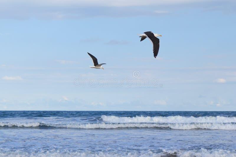 Céu azul de voo do mar da gaivota do fundo dois imagem de stock