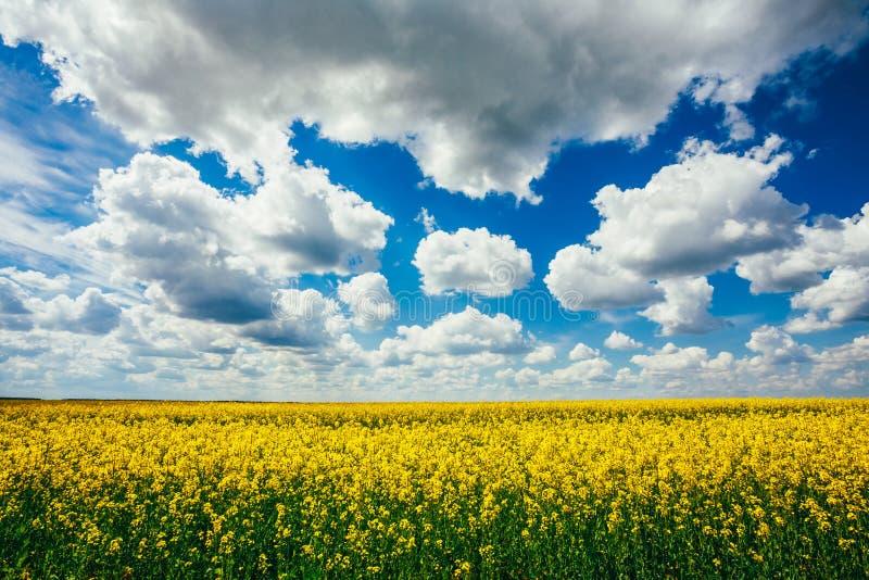 Céu azul do campo verde Início do verão, colza de florescência oilseed foto de stock royalty free