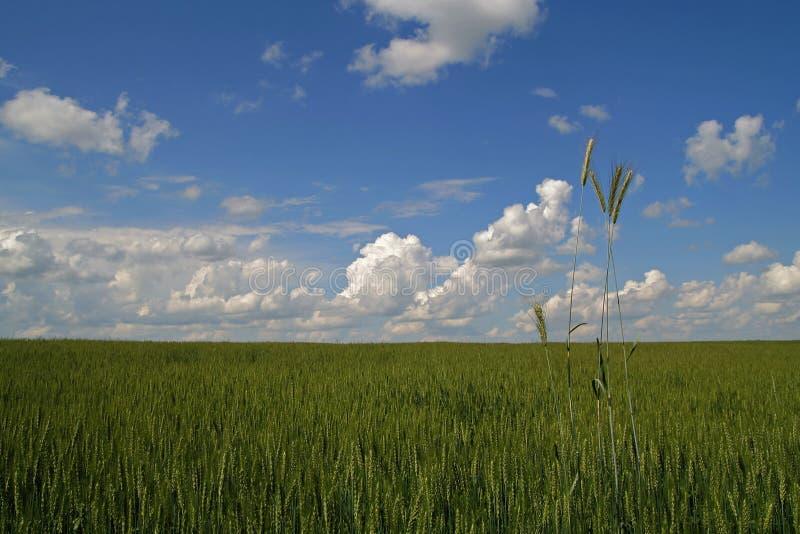 C?u azul e fundo verde do campo de trigo imagem de stock