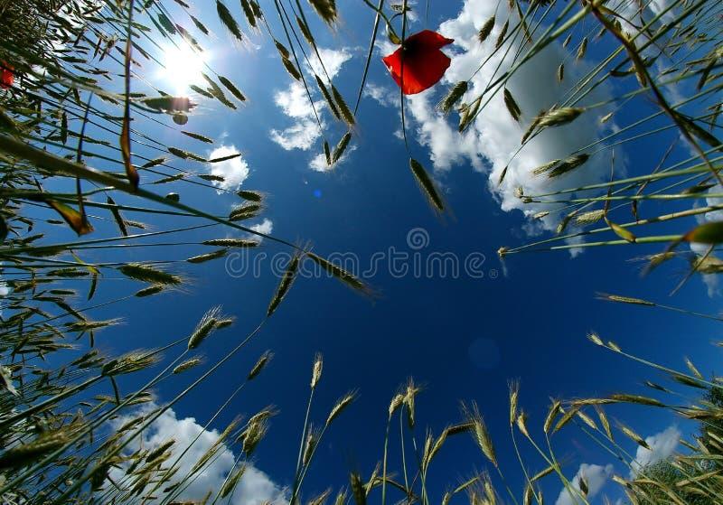 Céu azul e trigo imagem de stock royalty free