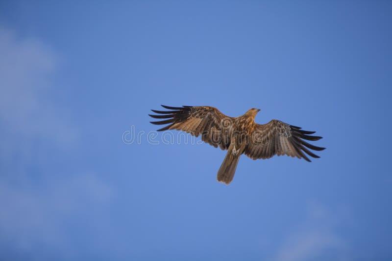 Mar Eagle fotos de stock