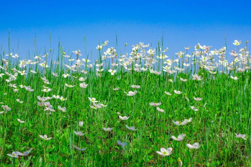 C?u azul sobre um campo das flores brancas fotos de stock royalty free