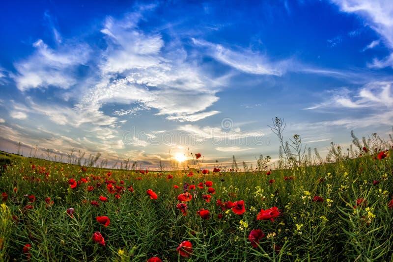 Céu bonito do por do sol com nuvens brancas sobre um campo verde do verão com papoilas imagens de stock royalty free
