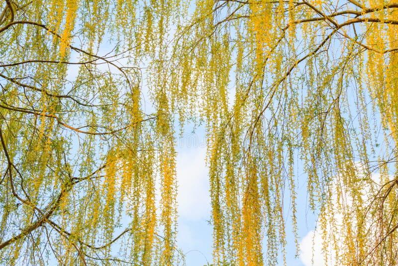 Céu bonito dos ramos do álamo na primavera fotografia de stock