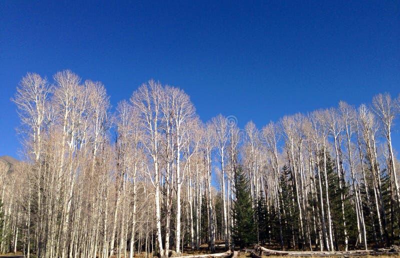 Céu da montanha sobre árvores do álamo tremedor no Arizona do norte imagem de stock royalty free