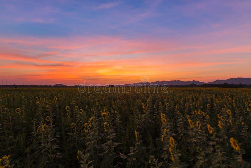 Céu dramático bonito do por do sol sobre o campo do girassol da flor completa fotos de stock royalty free