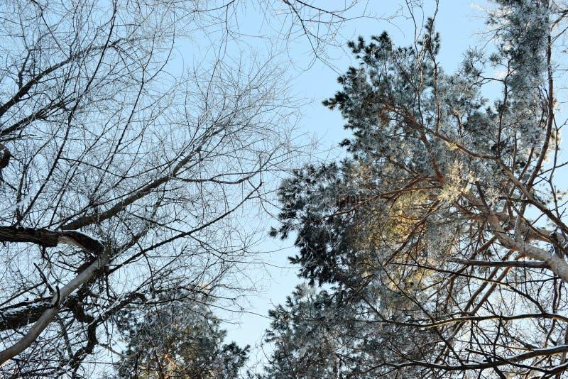 Céu em torno das árvores altas, vista da parte inferior, foto do fundo natural imagem de stock