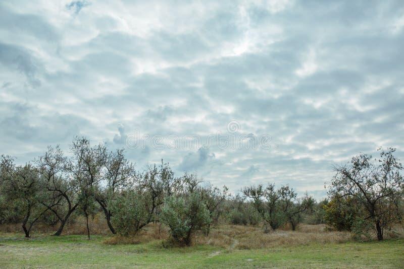 céu nebuloso e azeitonas crescentes imagem de stock