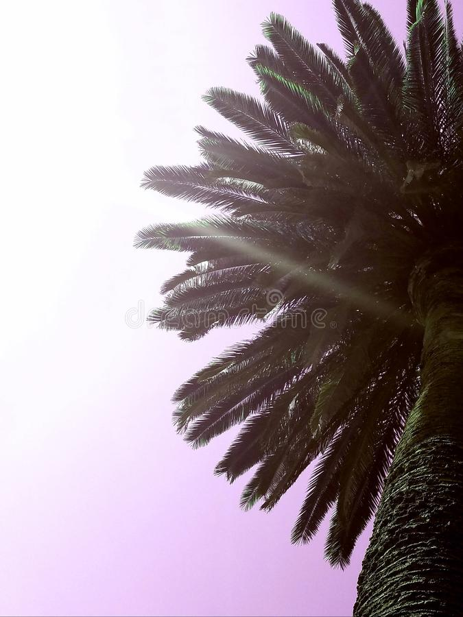Céu róseo da palmeira fotos de stock royalty free